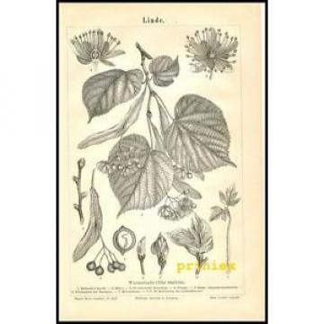Stich Linde Winterlinde Tilia ulmifolia Blüte Frucht Blatt 1890 Original