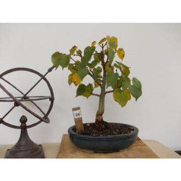Bonsai-Winter-Linde+Lärche