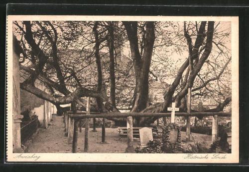 alte AK Annaberg, Historische Linde