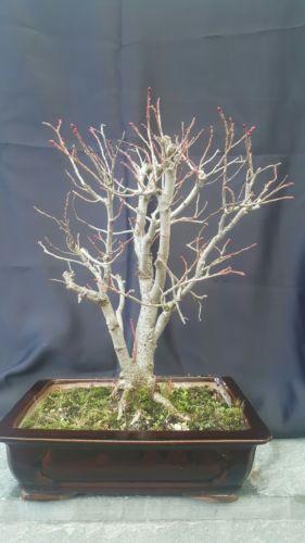 Bonsai Alte Linde -Tilia 30 jahre Winterhart 60 cm Garten Bonsai