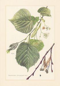 Sommerlinde - Tilia platyphyllos Farbdruck von 1958 Großblättrige Linde