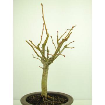 Bonsai Linde Tilia europaea Jungware Rohware Outdoor Baumhöhe 30cm