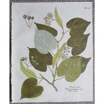 Vietz Icones Plantarum Kolor. Kupferstich Botanik Linde - 1800