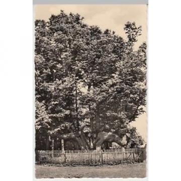 (17915) Foto AK Augustusburg, Alte Linde am Schloss 1958