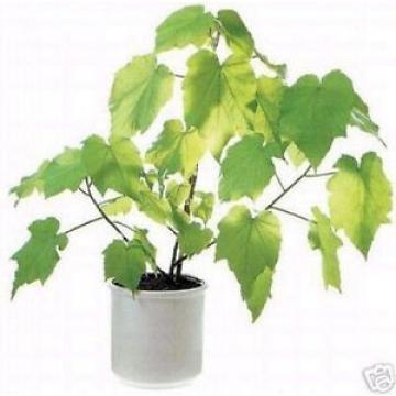 ZIMMERLINDE: wunderschöner Zimmerbaum filtert die Luft