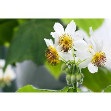 Die Zimmerlinde verzaubert mit ihren großen Blättern und Blüten jeden Wohnraum !