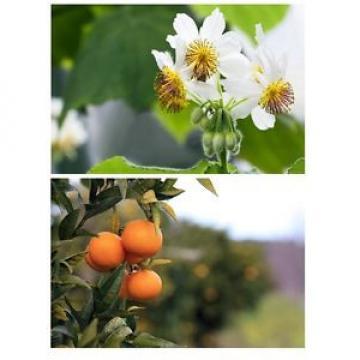 * Der Mandarinenbaum und die Zimmerlinde bilden ein farbenreiches Duett !