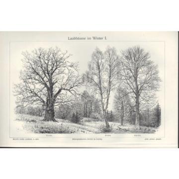 Lithografie 1905: Laub-Bäume. Birke. Eiche. Buche. Rüster. Ulme. Erle. Linde.