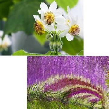 für drinnen und für draußen schöne Blüten: Zimmerlinde und Blauregen im Sparset