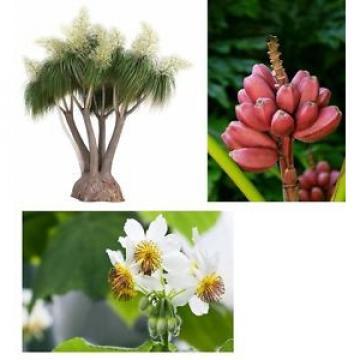 3 Supersorten - Zimmerlinde, Elefantenfuß und rosa Banane  - im Samen-Spar-Set !
