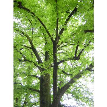 TILIA PLAYPHYLLOS alveole linde nostrano largeleaf linden pflanze Pflanze